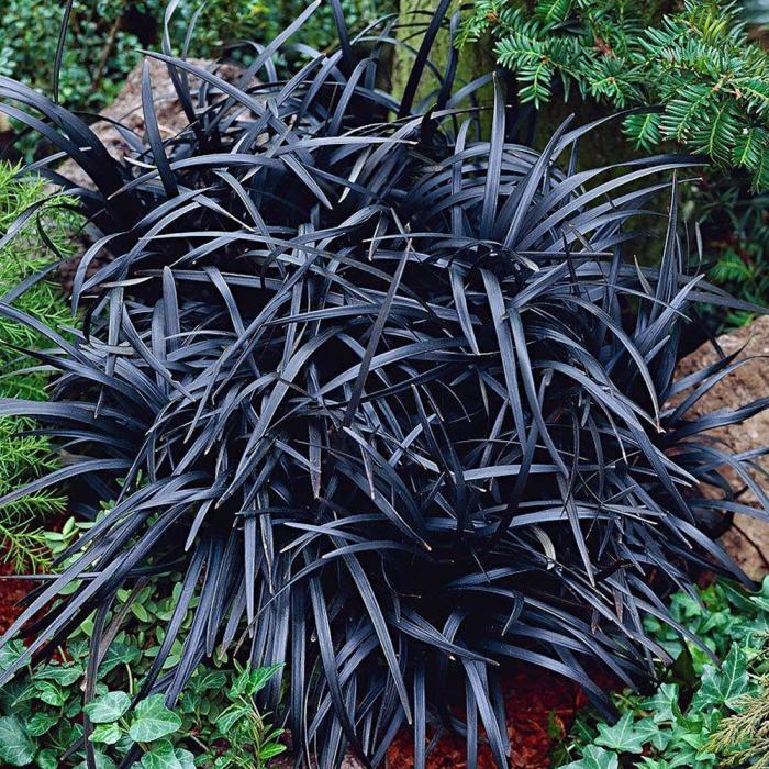 Ophiopogon planiscarpus-Nigriscens [0]
