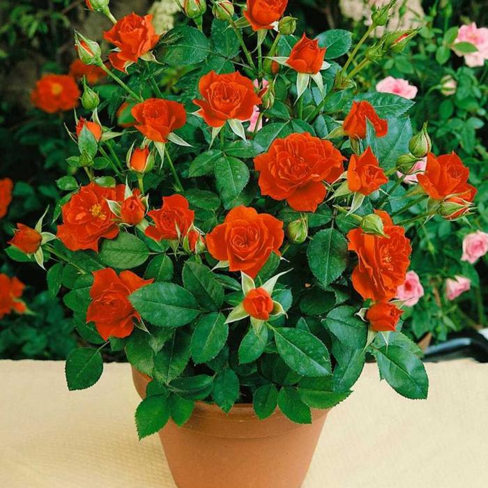 Trandafir Orange Meillandina® 0