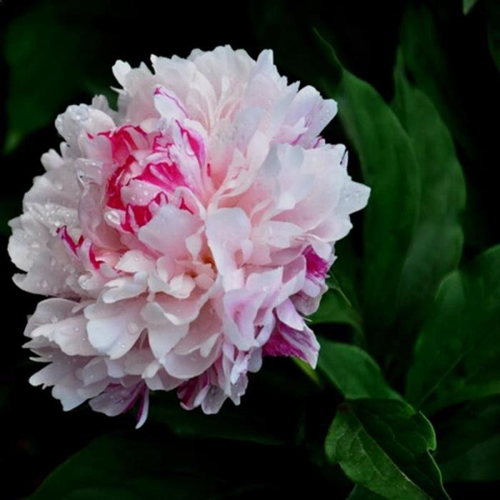 Paeonia lactiflora Charles White 0