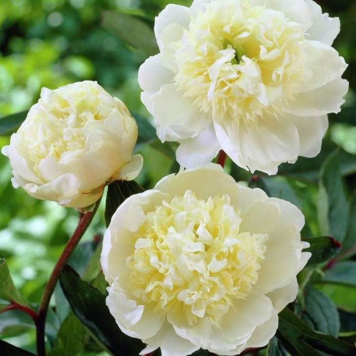 Paeonia lactiflora-Charles White 0