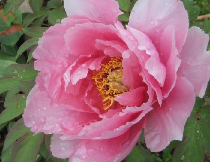 Paeonia suffruticosa  Hanakisoi 1