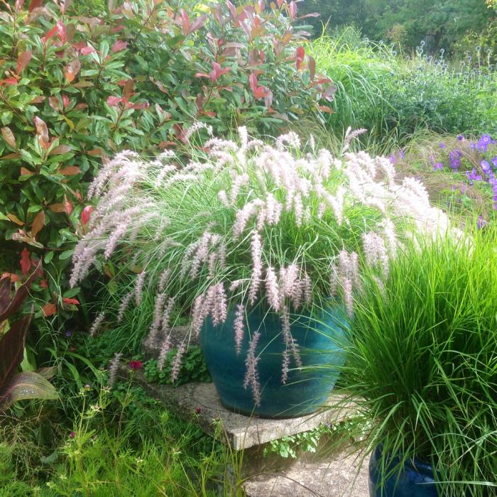 Pennisetum orientale -Fairy Tails 0