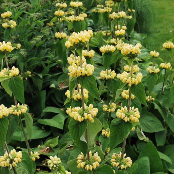 Phlomis russeliana [0]