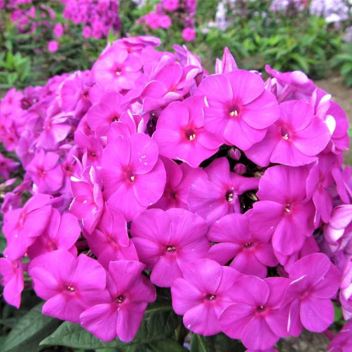 Phlox paniculata-Flame Purple 0