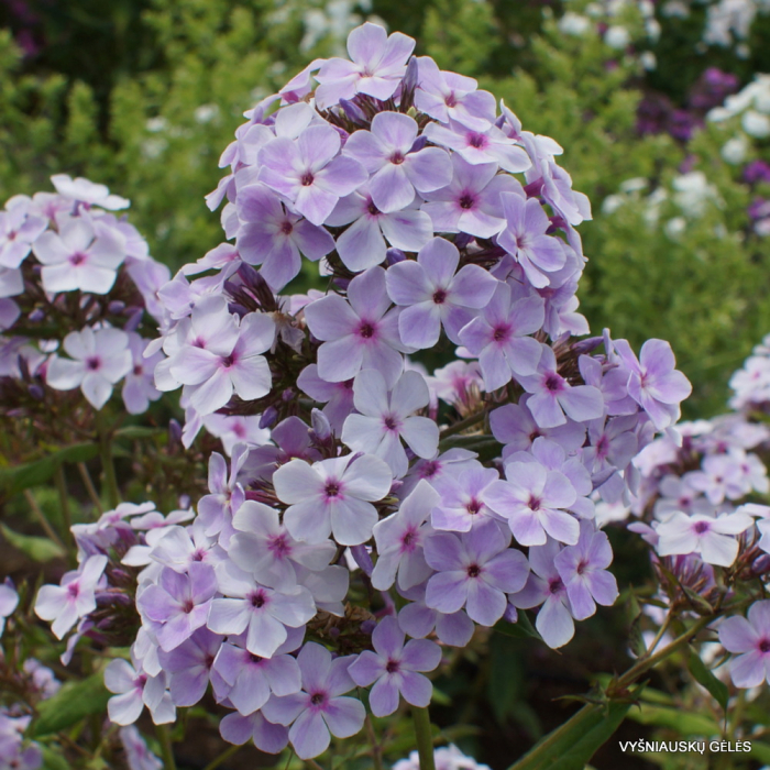 Phlox paniculata-Light Purple [0]