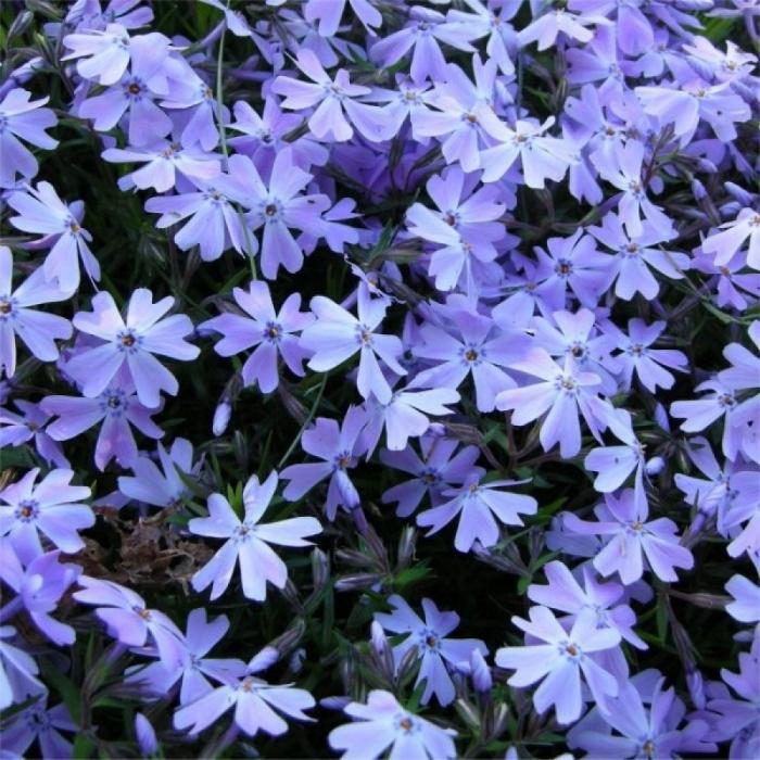 Phlox subulata-Spring Blue [0]