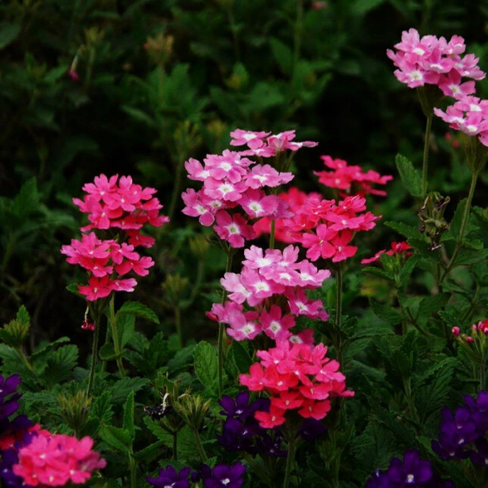 Phlox x hybrida Forever Pink 1