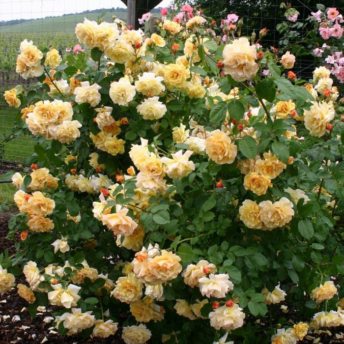 Trandafir Postillon® 2.5 metri [0]
