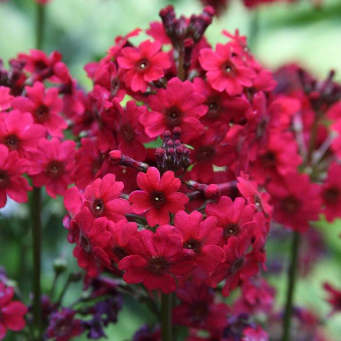 Primula japonica-Miller's Crimson 0