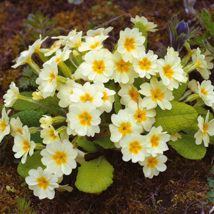 Primula veris-Lime and orange [0]