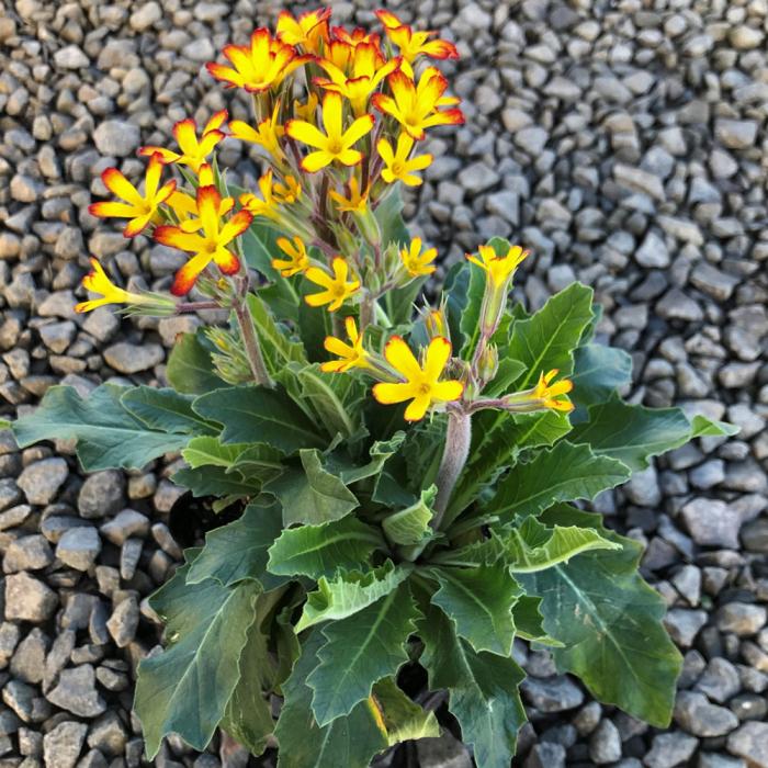 Primula vulgaris- OakLeaf Yellow Picotee [0]