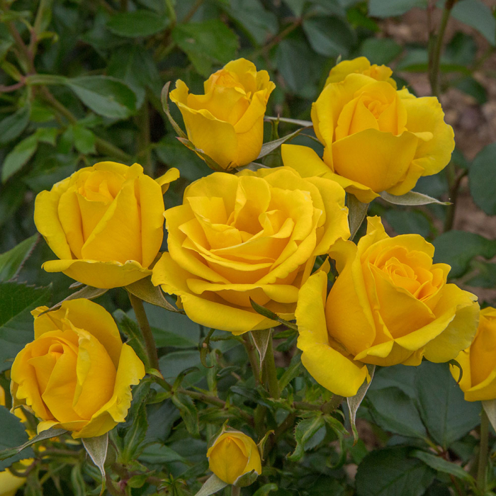 Trandafir Rayon de Soleil® 0