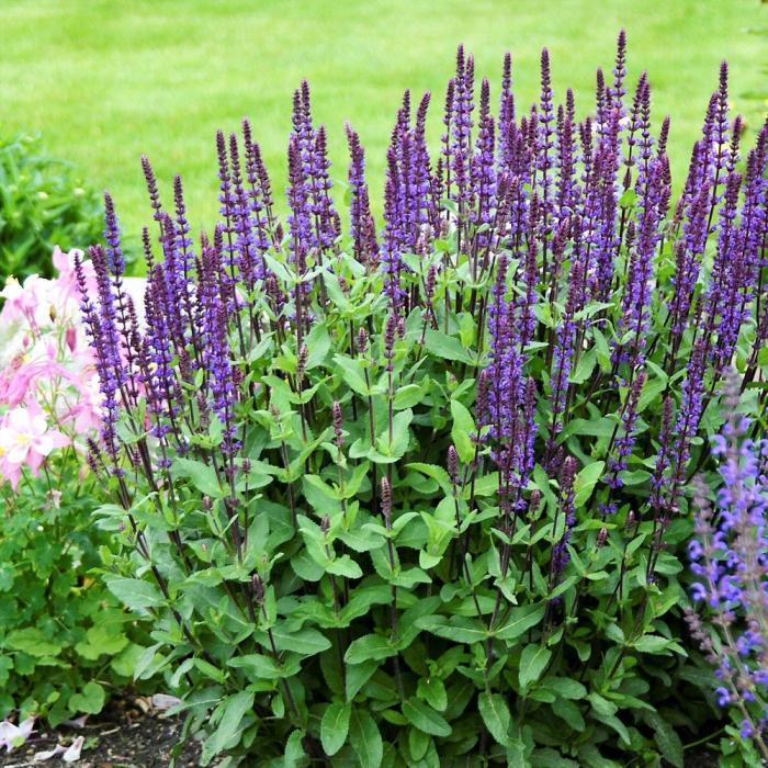 Salvia nemorosa-Caradonna 0