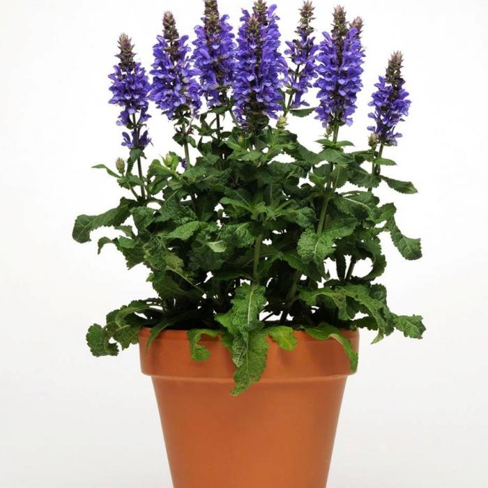 Salvia nemorosa-Marvel Blue 0