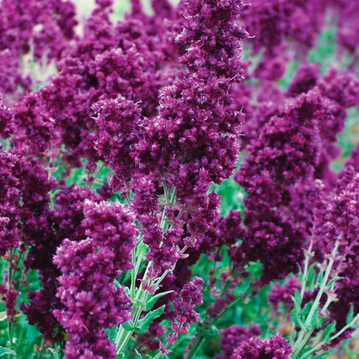 Salvia nemorosa-Plumosa 0