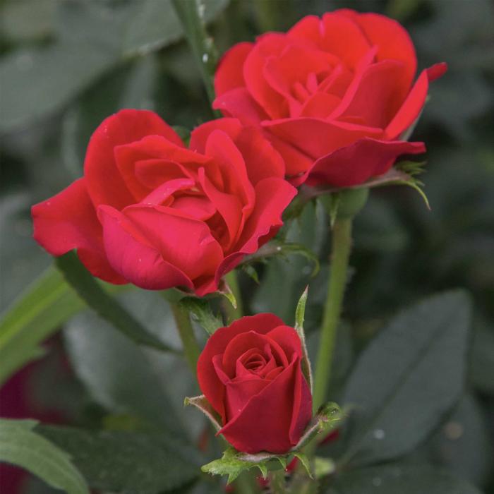 Trandafir Sangria® [0]