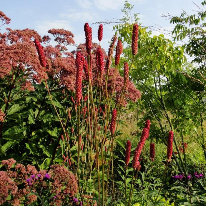 Sanguisorba officinalis-Blackthorn [0]