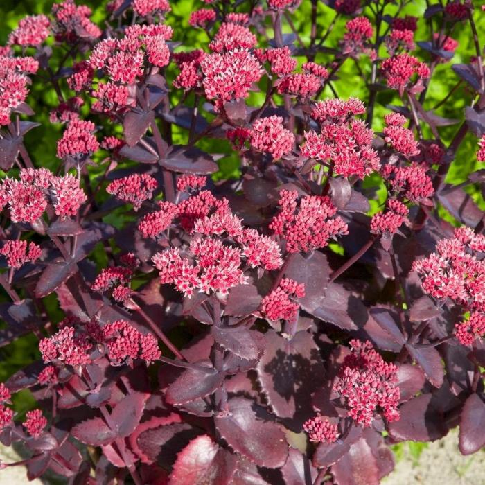 Sedum hybridum-Chocolate Cherry [0]