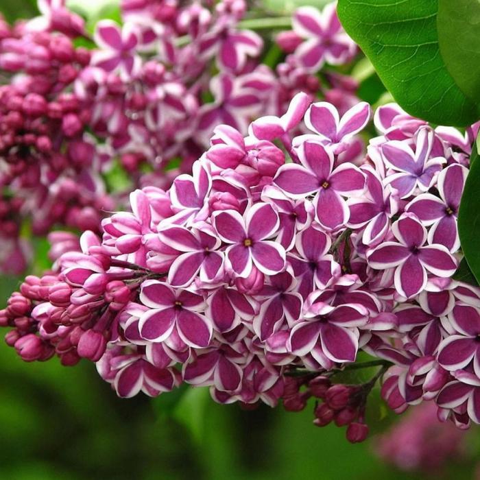 Syringa vulgaris -Sensation 0