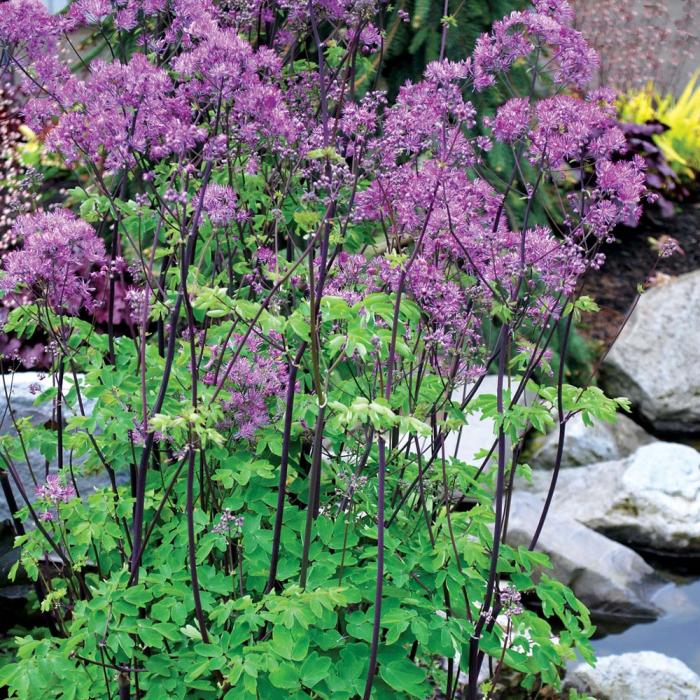 Thalictrum aquilegiifolium-Black Stockings [0]