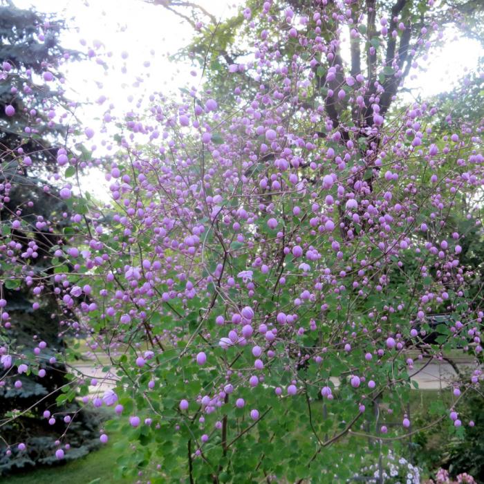 Thalictrum aquilegiifolium-Splendide 0