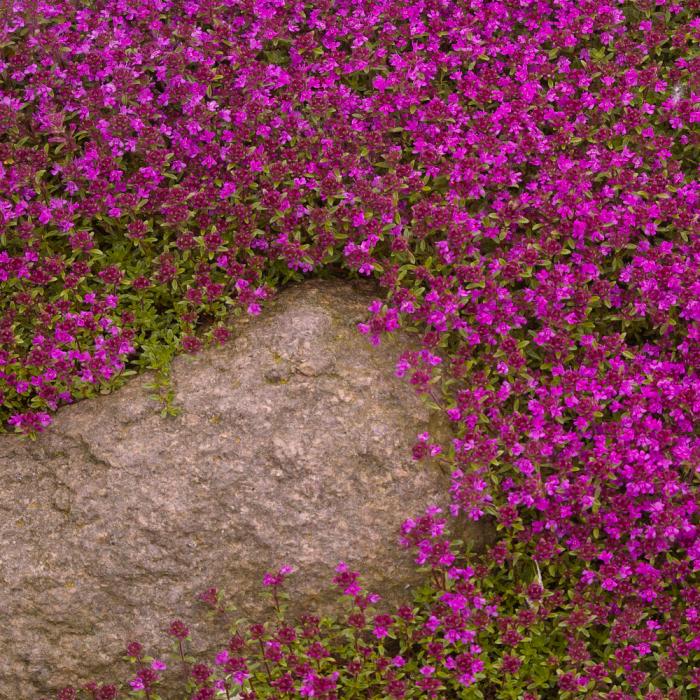 Thymus praecox-Red Carpet [0]