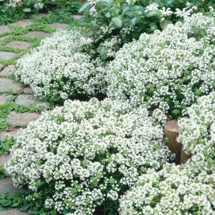 Thymus praecox-White 0