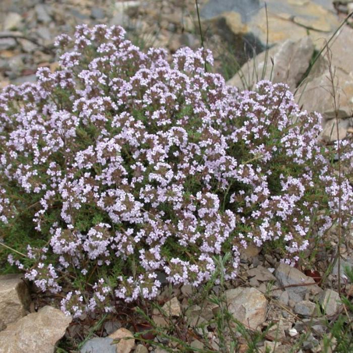 Thymus vulgaris 1