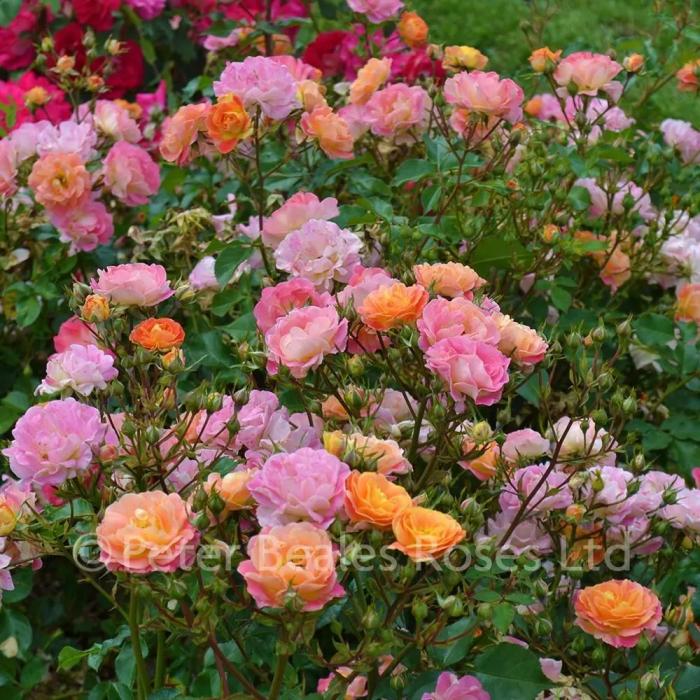 Trandafir-Bordure Camaieu® [0]