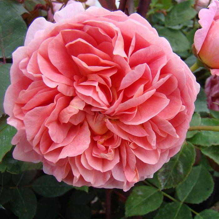 Trandafir-Boscobel® [0]