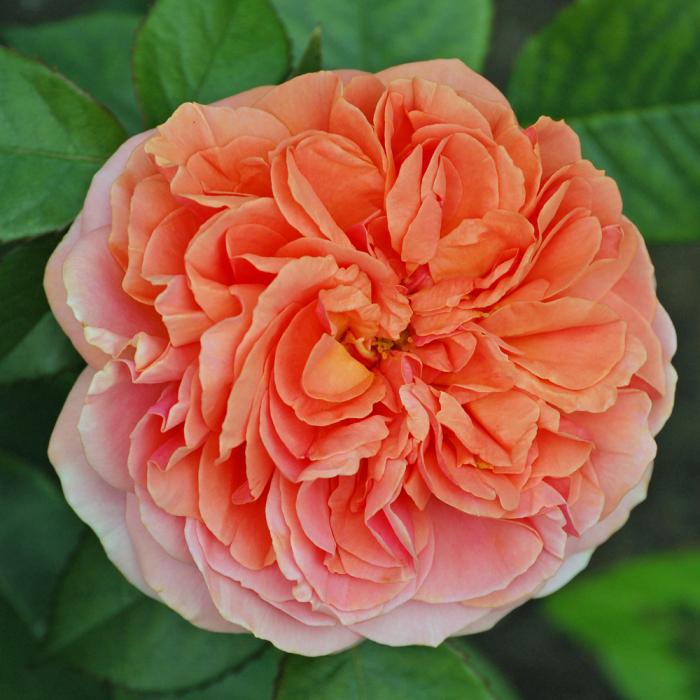 Trandafir-Chippendale [0]