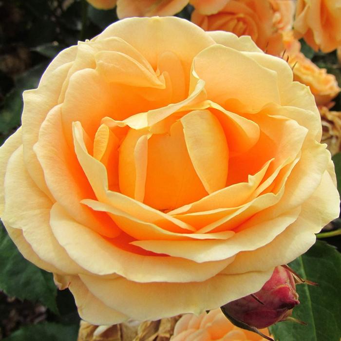Trandafir-Dolce Vita® 0