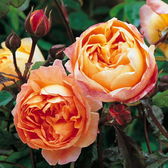 Trandafir-Emma Hamilton 0