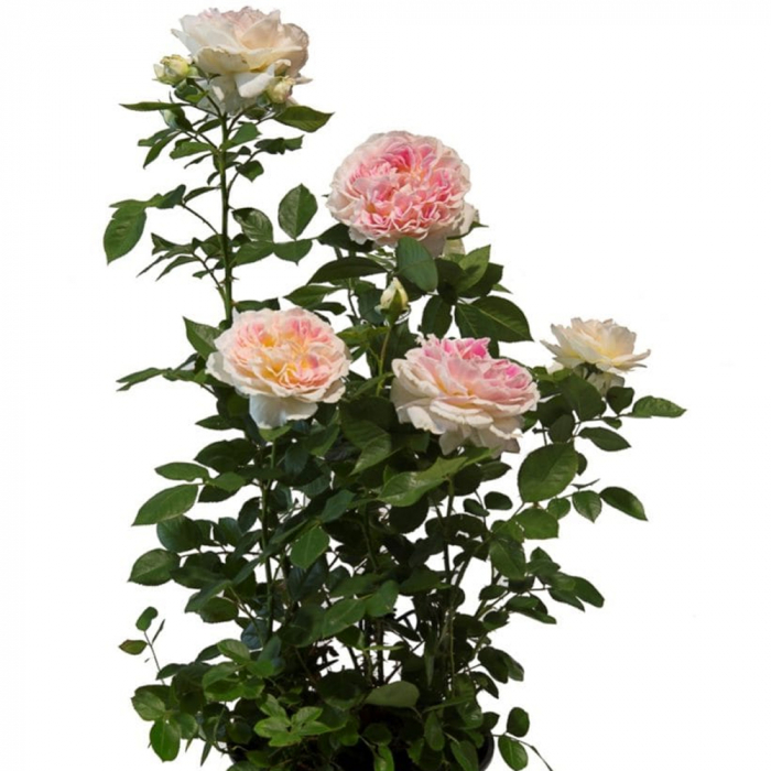 Trandafir-HOLIDAY ISLAND MAURITIUS [0]