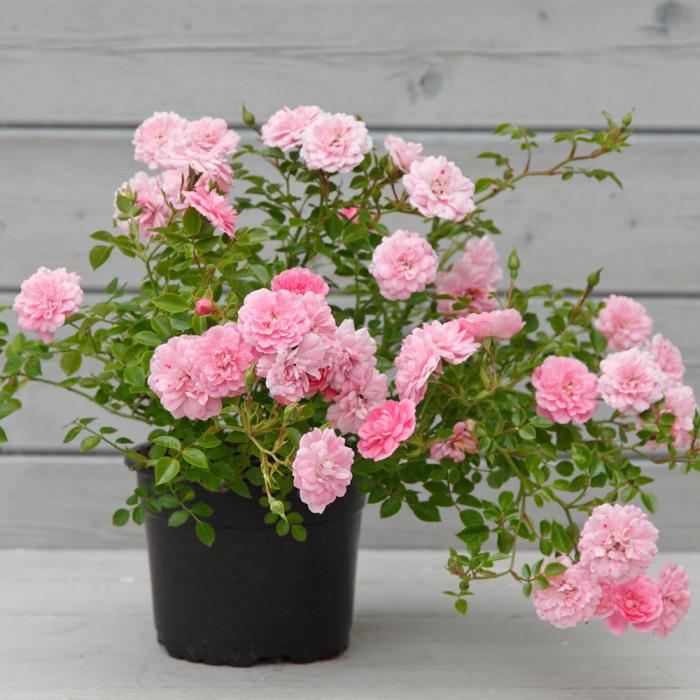 Trandafir-Knirps® 0