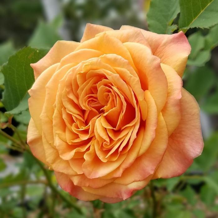 Trandafir-La Villa Cotta® [0]