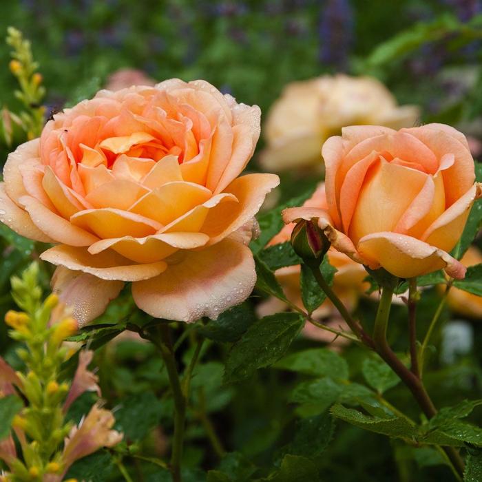 Trandafir-Lady of Shalot® [0]