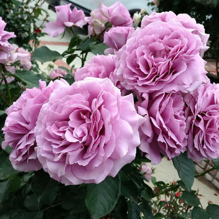 Trandafir-Love Song 0