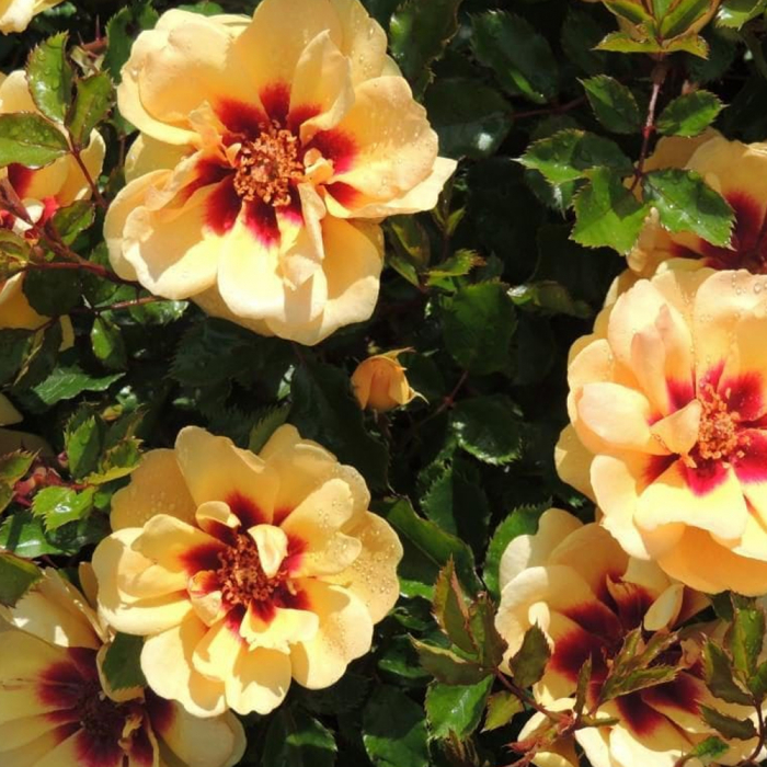 Trandafir-Maja Babylon Eyes® [0]