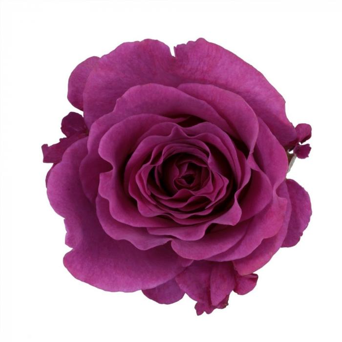 Trandafir-Mamy Blue [0]