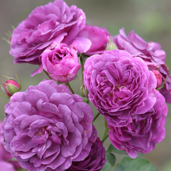 Trandafir-Minerva® [0]