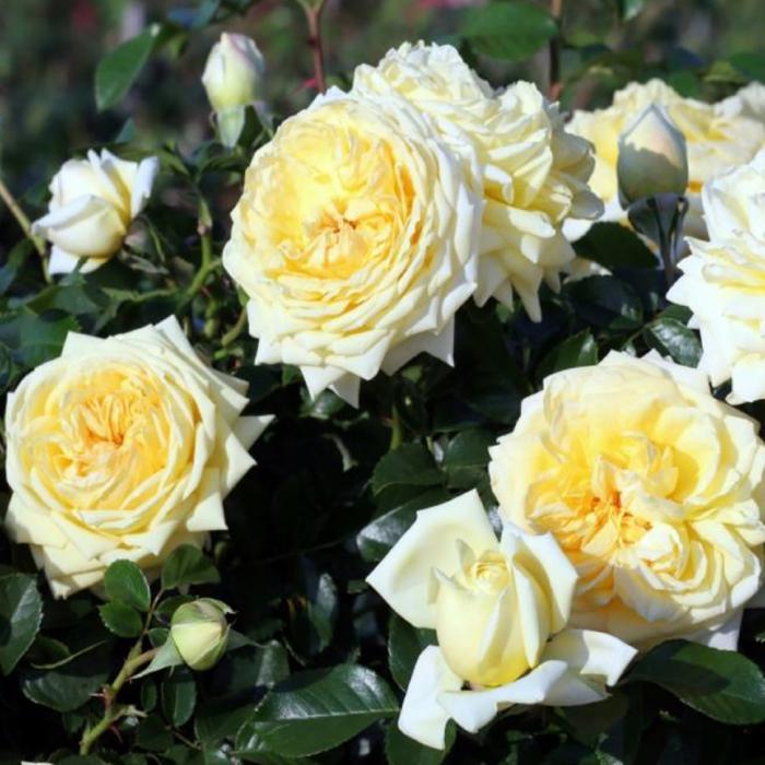 Trandafir Nadia Meidiland® [1]