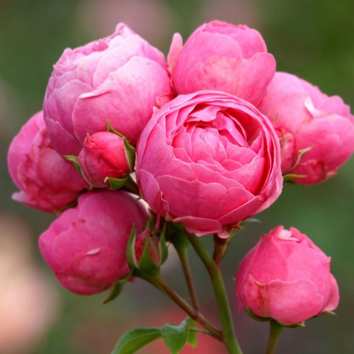 Trandafir-Pomponella ® 0