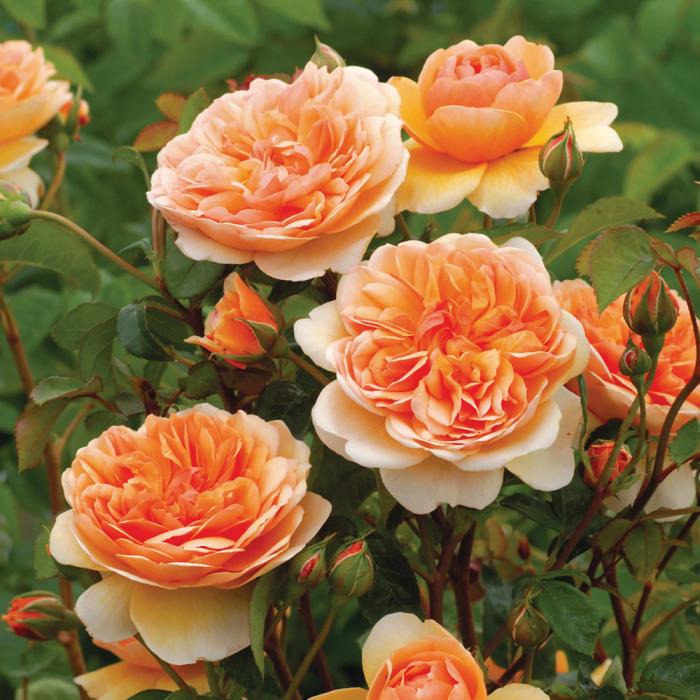 Trandafir-Port Sunlight® 0