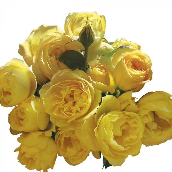 Trandafir-Souvenir de M.Proust® [0]