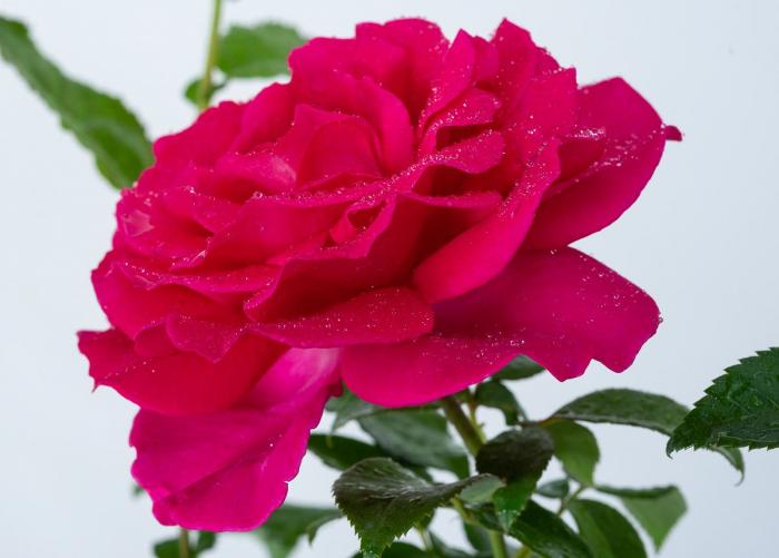 Trandafir Velasquez [1]