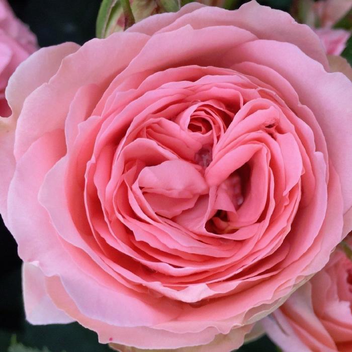 Trandafir-What a Wonderful World 0