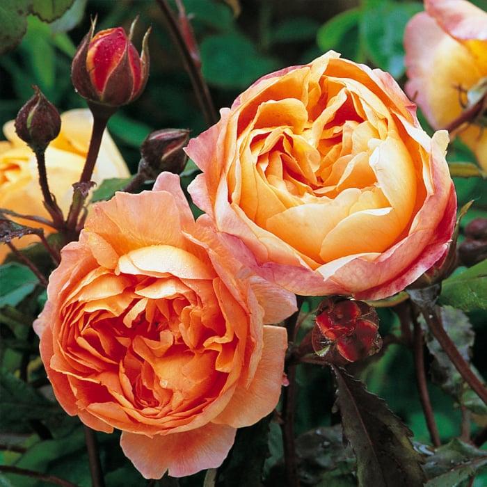 Trandafir Emma Hamilton 0