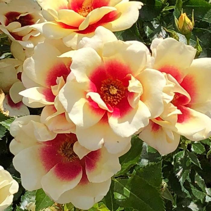 Trandafir Glorious Babylon Eyes [0]