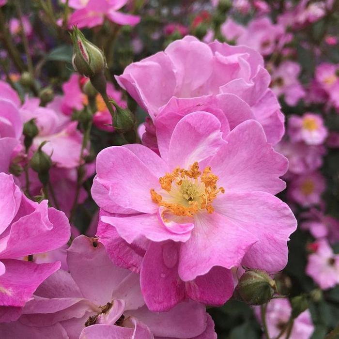 Trandafir Levender Dream [0]